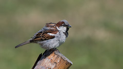 House sparrow (JS_71) Tags: nature wildlife nikon photography outdoor 500mm bird new see natur pose moment outside animal flickr colour poland sunshine beak feather nikkor d7500 wildbirds planet global national summer eye wing
