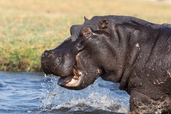 Hippo goes wild (Thomas Retterath) Tags: thomasretterath chobe afrika africa botswana 2018 safari nopeople natur nature wildlife boot boat hippopotamus hippo flusspferd hippopotamidae pflanzenfresser herbivore säugetier mammals animals tiere hippopotamusamphibius