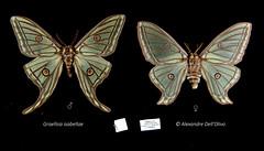 Graellsia isabellae (achrntatrps) Tags: saturnidae saturnidés graellsiaisabellae alexandre dellolivo photographe photographer nikon achrntatrps achrnt atrps radon200226 radon d850 nikkor 2470mm f28 g saturninii nikkor2470mmf28g macro focusstacking bombycoidea lepidoptera insecta arthropoda animalia silkmoth moth butterfly falter