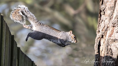 Leap of Faith (kathharper23) Tags: wildlife trees woods fence jumping flying mid air capture squirrel nikon nature sunshine winter d500
