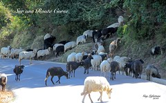 ATTENTION ! ..... UNE CINQUANTAINE de MOUTONS TRAVERSENT la ROUTE DEVANT NOUS sur l'ÎLE CORSE, ÎLE FRANÇAISE (Guy Lafortune) Tags: animal moutons mouton route arbres pelouse plantes road plant grass herbe gazon sheeps sheep danger stop corse corsica france month september mois septembre europa europe animaux laine wool bêtes brebis trajectoire trajet voie chemin path parcours promenade balade black white autumn automne île française french island sentier falaise cliff
