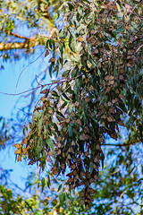 Monarch Butterflies (Eric Bloecher) Tags: monarch butterfly butterflies migration insect insects bugs animals animal wildlife бабочка бабочки