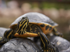 I'm at the top (ivoräber) Tags: turtle schildkröte