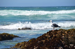 Barnacle perch (afagen) Tags: california pacificgrove montereypeninsula asilomar beach pacificocean ocean asilomarstatemarinereserve bird favorite