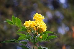 Yellow flowers on tree (hasham2) Tags: minoltamctelerokkorqd135mmf35 vintage lens yellow flowers tree bokeh autumn colors sony a7rii