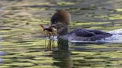 Hooded Merganser (Bob Gunderson) Tags: birds california divingducks ducks goldengatepark hoodedmerganser lloydlake lophodytescucullatus mergansers northerncalifornia sanfrancisco