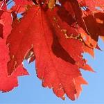 maple leaves against the sky, Biltmore Park, NC 2 thumbnail