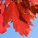 maple leaves against the sky, Biltmore Park, NC 2