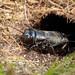 Field Cricket (Gryllus campestris)