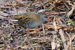 Water Rail (robin denton) Tags: rallusaquaticus yorkshirewildlifetrust ywt staveley bird waterbird waterrail wetlands nature northyorkshire yorkshire wildlife wildlifetrust