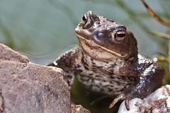 Frog (Hugo von Schreck) Tags: hugovonschreck frog frosch canoneos600d ef50mmf25compactmacronon