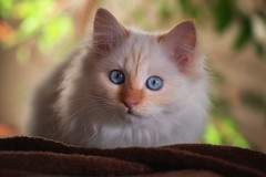 Santa will bring me gifts if I'm a good dragon ? (FocusPocus Photography) Tags: mushu thedragon katze cat chat gato tier animal haustier pet kater decke blanket
