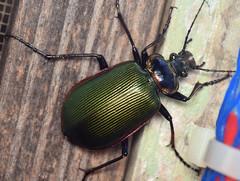 30 mm fiery searcher (ophis) Tags: coleoptera adephaga carabidae carabinae carabini calosoma calosomascrutator fierysearcher