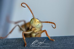 Curious Wasp (Boydz Photography) Tags: invertebrates extreme macroextreme macro insect bee wasp