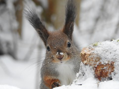 Red Squirrel (Sciurus vulgaris) (eerokiuru) Tags: redsquirrel sciurusvulgaris eichhörnchen orav closeup animal p900 nikoncoolpixp900