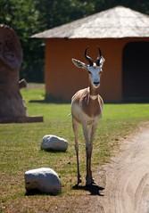 Nanger dama ruficollis (uhx72) Tags: nature animal serengetipark rothalsgazelle dama gazelle