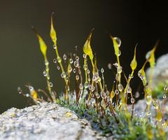 Wet Wall Moss. (Omygodtom) Tags: tamron tamron90mm scene moss web weather natural nikkor macro d7100 usgs stone