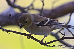 American Goldfinch_5003 (Roger Kiefer) Tags: birds nature wildlife outdoors backyard animals american goldfinch