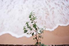 nikon f100 + yn35/2 (Olsomica) Tags: nikon f100 nikonf100 yongnuo 35mmf2 yongnuo35mmf2 kodak kodakcolorplus200 colorplus200 flower