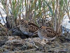 Snipe (kc02photos) Tags: snipe gallinagogallinago gibraltarpoint lincolnshire england uk birdphotography