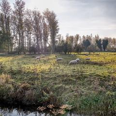 Grazing in the evening sun (enneafive) Tags: autumn meadow sheep evening sun shadow light green sky blue creek fujifilm xt2 herk bucolic pastoral