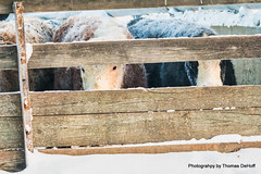 Peaking (Thomas DeHoff) Tags: cattle snow eyes sony a77mk2 white