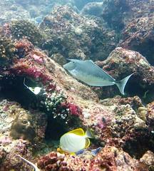 Naso brachycentron + Chaetodon xanthocephalus (kmlk2000) Tags: maldives vacation sea ocean sealife sun blue underwater fish poisson beach reef