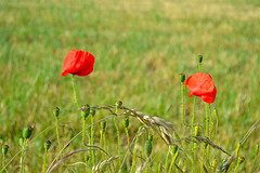 """In Flanders fields the poppies grow..."" (Maria Godfrida) Tags: nature plants flowers red green poppies poppyday remembranceday firstworldwar memorialday memorial 111111 belgium flanders flandersfields poem lestweforget psp"