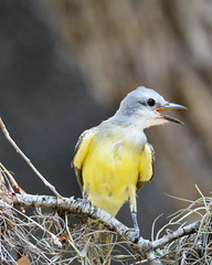 Immature Couch's kingbird (justkim1106) Tags: couchskingbird flycatcher bird nature yellow wildlife bokeh naturebokeh texasbird texaswildlife texasnature beyondbokeh