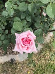 rose-rose-belle© (alexandrarougeron) Tags: photo alexandra rougeron flickr fleurs nature plante végétal végétale ville beauté couleur frais