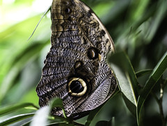 Butterfly III (Joe Josephs: 3,166,284 views - thank you) Tags: butterflies insects science animals nature naturephotography americanmuseumofnaturalhistory nyc newyorkcity sciencemuseum travel travelphotography
