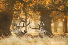 Red Deer V (Michiyo Photo) Tags: deers deer reddeer natural nature woldlife wild autumn tree relax peace afternoon fog park richmondpark richmond surrey southern england southernengland light rays sunrays unitedkingdomcanon5d mark iii