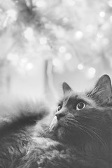 Christmas Cat (flashfix) Tags: december052018 2018inphotos flashfix flashfixphotography ottawa ontario canada nikond7100 40mm kittynose fyero nebelung ragamuffin ragdoll fluffy graycat portrait bokeh christmastree christmasbokeh monochrome blackandwhite
