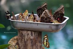 Crowded (Ineke Klaassen) Tags: butterflies butterfly vlinder vlinders schmetterling papillon nature natuur bokeh natuurfotografie naturephotography animals insects insecten insect sony sonyalpha papillons burgerszoo burgersmangrove arnhem 35faves 35favs 35fav 2550fav 1000views