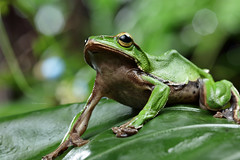 2J4A8080 (ajstone2548) Tags: 12月 樹蛙科 兩棲類 翡翠樹蛙