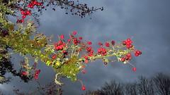 Hawthorn (kadege59) Tags: nature canon canonpowershotsx230hs wow wonderfulnature weather wald sky suhl supi herbst autumn e