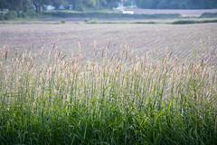 My View (marylea) Tags: jun17 2018 fields field light oak soybeans soybeanfield evening grasses sunlight landscape