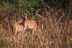 Axishirsch / Chital / Axis deer (Axis axis) (uwe125) Tags: tiere animals säugetier axis hirsch dschungel deer spotted