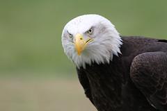 IMG_1454 (Stefan Kusinski) Tags: hemsley duncombe ncbp birdofprey