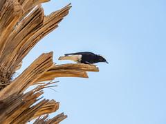 White-crowned Black Wheatear (Markus Jansson) Tags: morocco desert sahara bird wildlife hike hiking nature