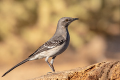 Northern Mockingbird (gilamonster8) Tags: northernmockingbird 5dmarkiv bokeh 150x600 wildlife natuesbest sigma perch bird naturetop cactus perched eos ngc flickr tucson