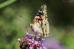 Belle-Dame Vanessa Cardui painted lady (Ezzo33) Tags: belledame vanessacardui paintedlady france gironde nouvelleaquitaine bordeaux ezzo33 nammour ezzat sony rx10m3 parc jardin papillon papillons butterfly butterflies specanimal