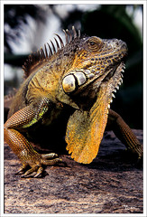 Lizard (Ben Tuinman) Tags: reptiles amimals chameleons outdoors nature creatures zoo insects canon rebelxti lizard