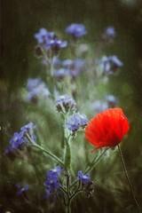 Y conocí a una persona. Es de esas personas que te cambian la vida al conocerlas. (elena m.d.) Tags: amapola primavera macromondays landscapes nature nikon d5600 sigma sigma105 rojo red colores colors elena guadalajara