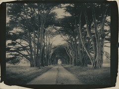 allée (lawatt) Tags: cypress trees allee pointreyes altprocess cyanotype wares toned hahnemuhleplatinumrag