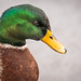 Mr. Mallard is Ready For His Closeup