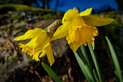 Bakerview Daffodils (Martin Smith - Having the Time of my Life) Tags: bakerviewpark daffodils samsunggalaxys8 winterflower martinsmith surrey southsurrey bc britishcolumbia canada ca macro flowers yellow