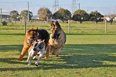 Canine Stampede (adamsgc1) Tags: germanshepherds oxleycommon dogs doggos running chase sherwoodroad brisbane queensland australia