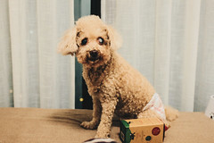 _MG_4654 (waychen_c) Tags: taiwan newtaipei newtaipeicity luzhou luzhoudistrict dog 台灣 新北 新北市 蘆洲 蘆洲區 狗 犬 イヌ 妞妞