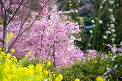 Spring glow (tez-guitar) Tags: flower spring bloom blossom mountain sakura cherryblossom cherry mustard plum ume pentax pentaxart matsuda kanagawa